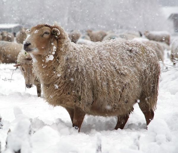 insulated sheep