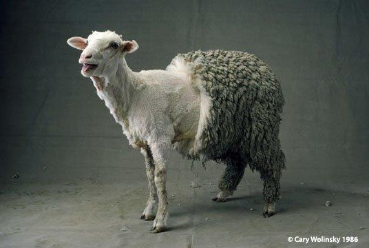 half sheared sheep